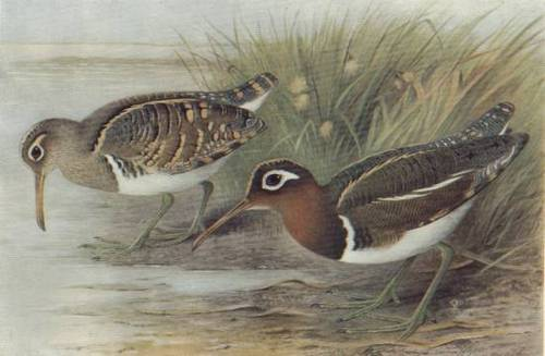 painted-snipe-game-birds-of-india-burma-ceylon