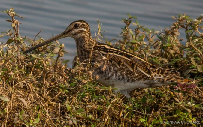 tnw-common-snipe