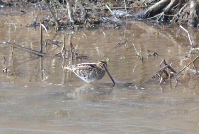 snipe-in-mud
